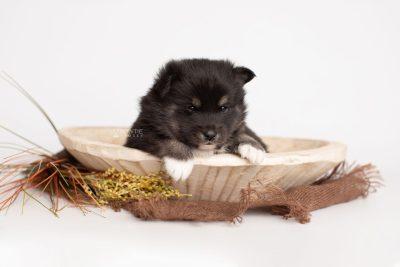 puppy217 week3 BowTiePomsky.com Bowtie Pomsky Puppy For Sale Husky Pomeranian Mini Dog Spokane WA Breeder Blue Eyes Pomskies Celebrity Puppy web2