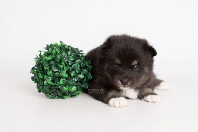 puppy217 week3 BowTiePomsky.com Bowtie Pomsky Puppy For Sale Husky Pomeranian Mini Dog Spokane WA Breeder Blue Eyes Pomskies Celebrity Puppy web5
