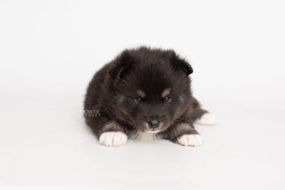 puppy217 week3 BowTiePomsky.com Bowtie Pomsky Puppy For Sale Husky Pomeranian Mini Dog Spokane WA Breeder Blue Eyes Pomskies Celebrity Puppy web6