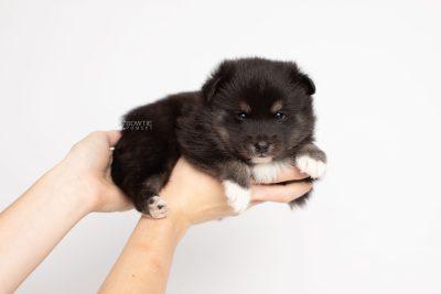 puppy217 week3 BowTiePomsky.com Bowtie Pomsky Puppy For Sale Husky Pomeranian Mini Dog Spokane WA Breeder Blue Eyes Pomskies Celebrity Puppy web7