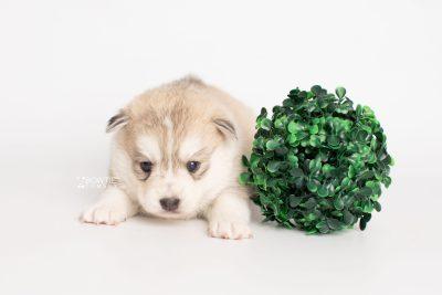 puppy219 week3 BowTiePomsky.com Bowtie Pomsky Puppy For Sale Husky Pomeranian Mini Dog Spokane WA Breeder Blue Eyes Pomskies Celebrity Puppy web5