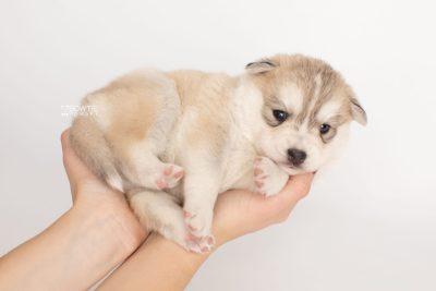 puppy219 week3 BowTiePomsky.com Bowtie Pomsky Puppy For Sale Husky Pomeranian Mini Dog Spokane WA Breeder Blue Eyes Pomskies Celebrity Puppy web8