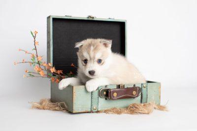 puppy219 week5 BowTiePomsky.com Bowtie Pomsky Puppy For Sale Husky Pomeranian Mini Dog Spokane WA Breeder Blue Eyes Pomskies Celebrity Puppy web1
