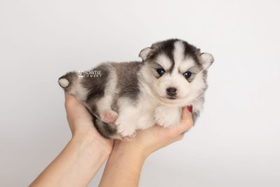 puppy221 week3 BowTiePomsky.com Bowtie Pomsky Puppy For Sale Husky Pomeranian Mini Dog Spokane WA Breeder Blue Eyes Pomskies Celebrity Puppy web7