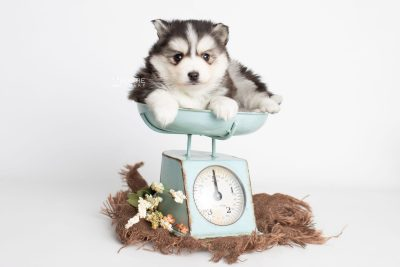 puppy221 week5 BowTiePomsky.com Bowtie Pomsky Puppy For Sale Husky Pomeranian Mini Dog Spokane WA Breeder Blue Eyes Pomskies Celebrity Puppy web3
