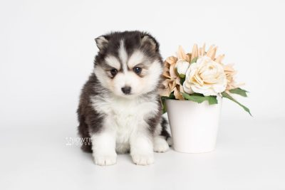 puppy221 week5 BowTiePomsky.com Bowtie Pomsky Puppy For Sale Husky Pomeranian Mini Dog Spokane WA Breeder Blue Eyes Pomskies Celebrity Puppy web5