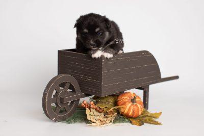 puppy222 week3 BowTiePomsky.com Bowtie Pomsky Puppy For Sale Husky Pomeranian Mini Dog Spokane WA Breeder Blue Eyes Pomskies Celebrity Puppy web1