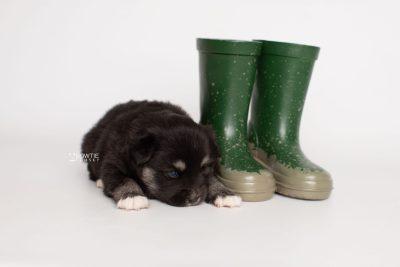 puppy222 week3 BowTiePomsky.com Bowtie Pomsky Puppy For Sale Husky Pomeranian Mini Dog Spokane WA Breeder Blue Eyes Pomskies Celebrity Puppy web4