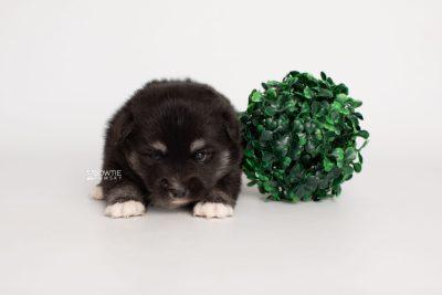 puppy222 week3 BowTiePomsky.com Bowtie Pomsky Puppy For Sale Husky Pomeranian Mini Dog Spokane WA Breeder Blue Eyes Pomskies Celebrity Puppy web5