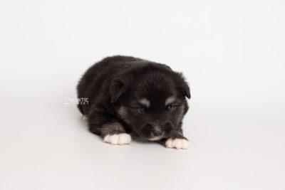 puppy222 week3 BowTiePomsky.com Bowtie Pomsky Puppy For Sale Husky Pomeranian Mini Dog Spokane WA Breeder Blue Eyes Pomskies Celebrity Puppy web6