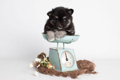 puppy222 week5 BowTiePomsky.com Bowtie Pomsky Puppy For Sale Husky Pomeranian Mini Dog Spokane WA Breeder Blue Eyes Pomskies Celebrity Puppy web2