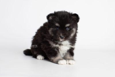 puppy222 week5 BowTiePomsky.com Bowtie Pomsky Puppy For Sale Husky Pomeranian Mini Dog Spokane WA Breeder Blue Eyes Pomskies Celebrity Puppy web5