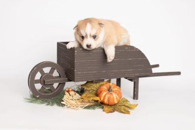 puppy224 week3 BowTiePomsky.com Bowtie Pomsky Puppy For Sale Husky Pomeranian Mini Dog Spokane WA Breeder Blue Eyes Pomskies Celebrity Puppy web1