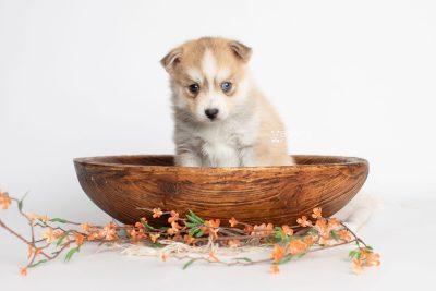 puppy224 week5 BowTiePomsky.com Bowtie Pomsky Puppy For Sale Husky Pomeranian Mini Dog Spokane WA Breeder Blue Eyes Pomskies Celebrity Puppy web3