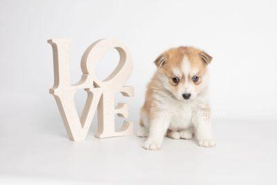 puppy224 week5 BowTiePomsky.com Bowtie Pomsky Puppy For Sale Husky Pomeranian Mini Dog Spokane WA Breeder Blue Eyes Pomskies Celebrity Puppy web5