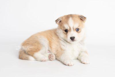 puppy224 week5 BowTiePomsky.com Bowtie Pomsky Puppy For Sale Husky Pomeranian Mini Dog Spokane WA Breeder Blue Eyes Pomskies Celebrity Puppy web7
