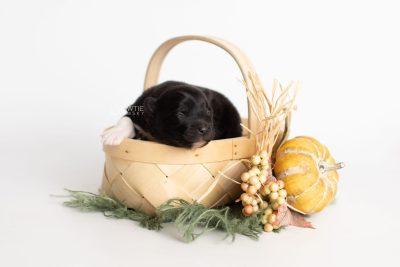 puppy225 week1 BowTiePomsky.com Bowtie Pomsky Puppy For Sale Husky Pomeranian Mini Dog Spokane WA Breeder Blue Eyes Pomskies Celebrity Puppy web2