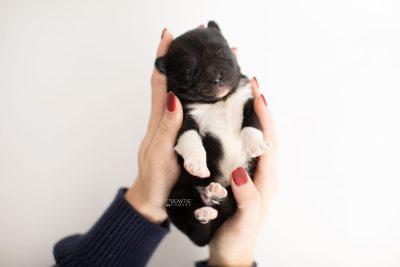 puppy225 week1 BowTiePomsky.com Bowtie Pomsky Puppy For Sale Husky Pomeranian Mini Dog Spokane WA Breeder Blue Eyes Pomskies Celebrity Puppy web6