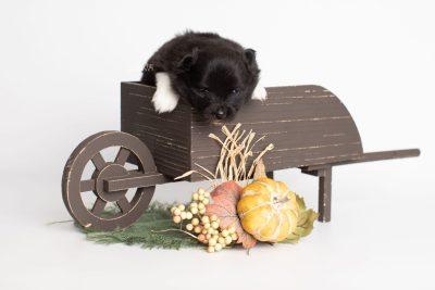 puppy225 week3 BowTiePomsky.com Bowtie Pomsky Puppy For Sale Husky Pomeranian Mini Dog Spokane WA Breeder Blue Eyes Pomskies Celebrity Puppy web1