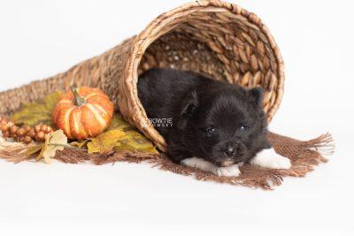 puppy225 week3 BowTiePomsky.com Bowtie Pomsky Puppy For Sale Husky Pomeranian Mini Dog Spokane WA Breeder Blue Eyes Pomskies Celebrity Puppy web3