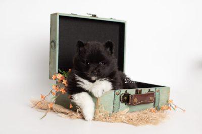 puppy225 week5 BowTiePomsky.com Bowtie Pomsky Puppy For Sale Husky Pomeranian Mini Dog Spokane WA Breeder Blue Eyes Pomskies Celebrity Puppy web3