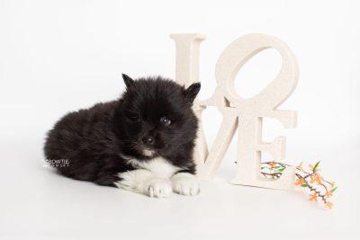 puppy225 week5 BowTiePomsky.com Bowtie Pomsky Puppy For Sale Husky Pomeranian Mini Dog Spokane WA Breeder Blue Eyes Pomskies Celebrity Puppy web4