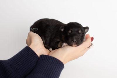 puppy226 week1 BowTiePomsky.com Bowtie Pomsky Puppy For Sale Husky Pomeranian Mini Dog Spokane WA Breeder Blue Eyes Pomskies Celebrity Puppy web5