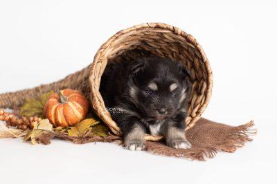 puppy226 week3 BowTiePomsky.com Bowtie Pomsky Puppy For Sale Husky Pomeranian Mini Dog Spokane WA Breeder Blue Eyes Pomskies Celebrity Puppy web2