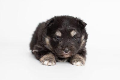 puppy226 week3 BowTiePomsky.com Bowtie Pomsky Puppy For Sale Husky Pomeranian Mini Dog Spokane WA Breeder Blue Eyes Pomskies Celebrity Puppy web6