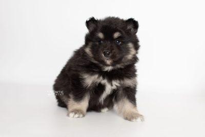 puppy226 week5 BowTiePomsky.com Bowtie Pomsky Puppy For Sale Husky Pomeranian Mini Dog Spokane WA Breeder Blue Eyes Pomskies Celebrity Puppy web6
