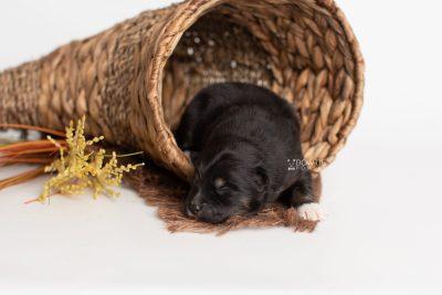 puppy227 week1 BowTiePomsky.com Bowtie Pomsky Puppy For Sale Husky Pomeranian Mini Dog Spokane WA Breeder Blue Eyes Pomskies Celebrity Puppy web1