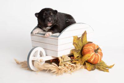 puppy227 week1 BowTiePomsky.com Bowtie Pomsky Puppy For Sale Husky Pomeranian Mini Dog Spokane WA Breeder Blue Eyes Pomskies Celebrity Puppy web3