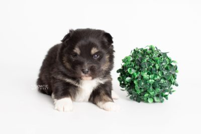 puppy227 week3 BowTiePomsky.com Bowtie Pomsky Puppy For Sale Husky Pomeranian Mini Dog Spokane WA Breeder Blue Eyes Pomskies Celebrity Puppy web5
