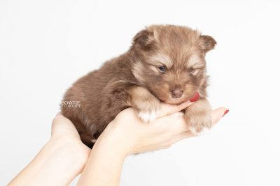 puppy229 week3 BowTiePomsky.com Bowtie Pomsky Puppy For Sale Husky Pomeranian Mini Dog Spokane WA Breeder Blue Eyes Pomskies Celebrity Puppy web7