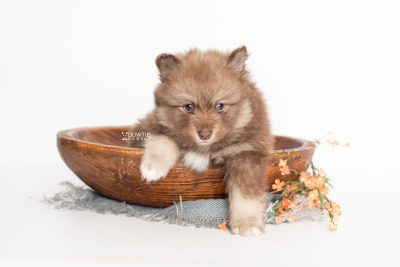 puppy229 week5 BowTiePomsky.com Bowtie Pomsky Puppy For Sale Husky Pomeranian Mini Dog Spokane WA Breeder Blue Eyes Pomskies Celebrity Puppy web2