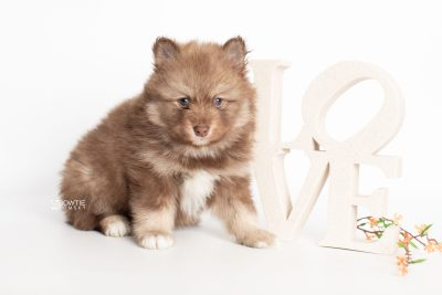 puppy229 week5 BowTiePomsky.com Bowtie Pomsky Puppy For Sale Husky Pomeranian Mini Dog Spokane WA Breeder Blue Eyes Pomskies Celebrity Puppy web4