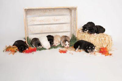 puppy230-238 week1 BowTiePomsky.com Bowtie Pomsky Puppy For Sale Husky Pomeranian Mini Dog Spokane WA Breeder Blue Eyes Pomskies Celebrity Puppy web2