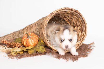 puppy230 week3 BowTiePomsky.com Bowtie Pomsky Puppy For Sale Husky Pomeranian Mini Dog Spokane WA Breeder Blue Eyes Pomskies Celebrity Puppy web3