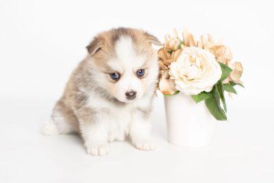 puppy230 week5 BowTiePomsky.com Bowtie Pomsky Puppy For Sale Husky Pomeranian Mini Dog Spokane WA Breeder Blue Eyes Pomskies Celebrity Puppy web4