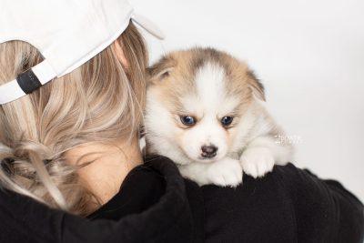 puppy230 week5 BowTiePomsky.com Bowtie Pomsky Puppy For Sale Husky Pomeranian Mini Dog Spokane WA Breeder Blue Eyes Pomskies Celebrity Puppy web7
