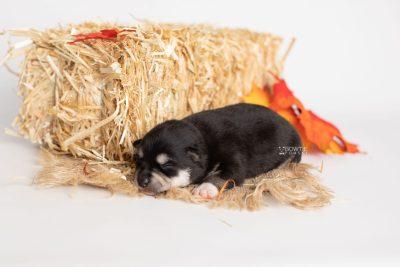 puppy231 week1 BowTiePomsky.com Bowtie Pomsky Puppy For Sale Husky Pomeranian Mini Dog Spokane WA Breeder Blue Eyes Pomskies Celebrity Puppy web7