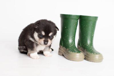 puppy231 week3 BowTiePomsky.com Bowtie Pomsky Puppy For Sale Husky Pomeranian Mini Dog Spokane WA Breeder Blue Eyes Pomskies Celebrity Puppy web4