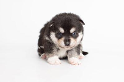 puppy231 week3 BowTiePomsky.com Bowtie Pomsky Puppy For Sale Husky Pomeranian Mini Dog Spokane WA Breeder Blue Eyes Pomskies Celebrity Puppy web6