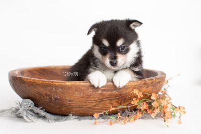 puppy231 week5 BowTiePomsky.com Bowtie Pomsky Puppy For Sale Husky Pomeranian Mini Dog Spokane WA Breeder Blue Eyes Pomskies Celebrity Puppy web2