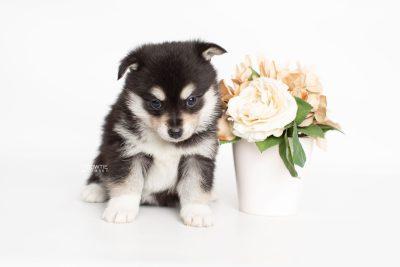 puppy231 week5 BowTiePomsky.com Bowtie Pomsky Puppy For Sale Husky Pomeranian Mini Dog Spokane WA Breeder Blue Eyes Pomskies Celebrity Puppy web4