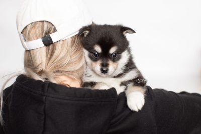 puppy231 week5 BowTiePomsky.com Bowtie Pomsky Puppy For Sale Husky Pomeranian Mini Dog Spokane WA Breeder Blue Eyes Pomskies Celebrity Puppy web7