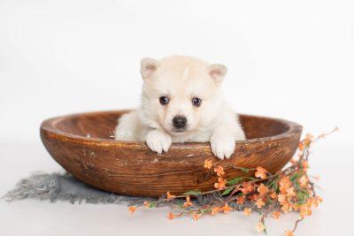 puppy232 week5 BowTiePomsky.com Bowtie Pomsky Puppy For Sale Husky Pomeranian Mini Dog Spokane WA Breeder Blue Eyes Pomskies Celebrity Puppy web2