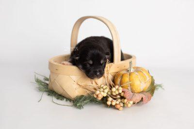 puppy234 week1 BowTiePomsky.com Bowtie Pomsky Puppy For Sale Husky Pomeranian Mini Dog Spokane WA Breeder Blue Eyes Pomskies Celebrity Puppy web2