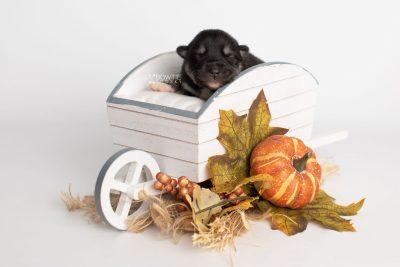 puppy234 week1 BowTiePomsky.com Bowtie Pomsky Puppy For Sale Husky Pomeranian Mini Dog Spokane WA Breeder Blue Eyes Pomskies Celebrity Puppy web3