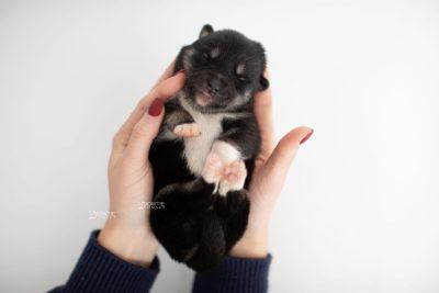puppy234 week1 BowTiePomsky.com Bowtie Pomsky Puppy For Sale Husky Pomeranian Mini Dog Spokane WA Breeder Blue Eyes Pomskies Celebrity Puppy web6